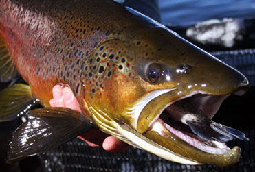 Bucking rainbow outfitters home steamboat springs co for Fish store colorado springs