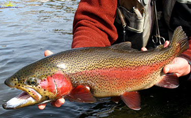 Bucking Rainbow Outfitters | Steamboat Springs, CO | trout photos